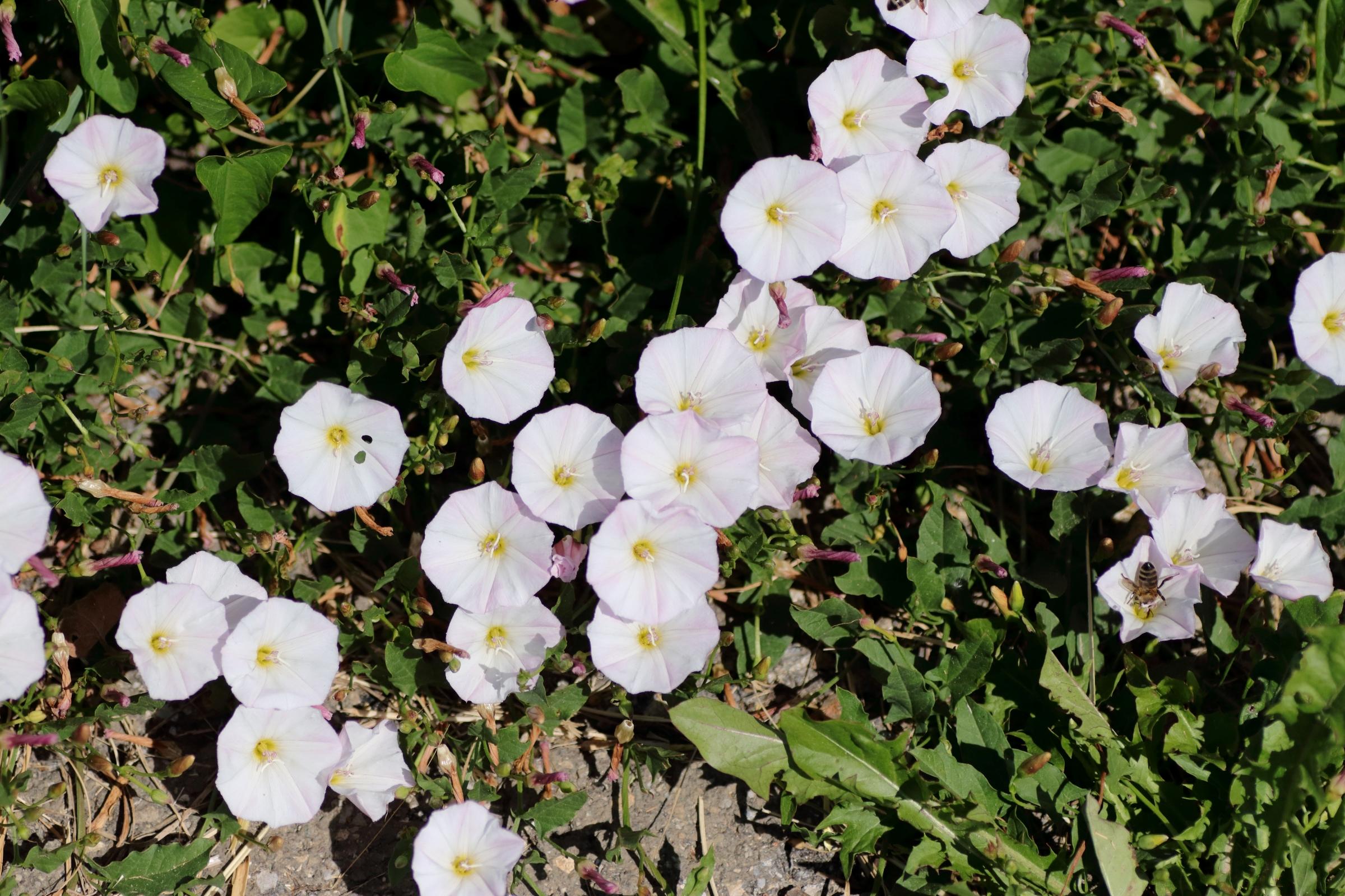 Blüten der Acker-Winde