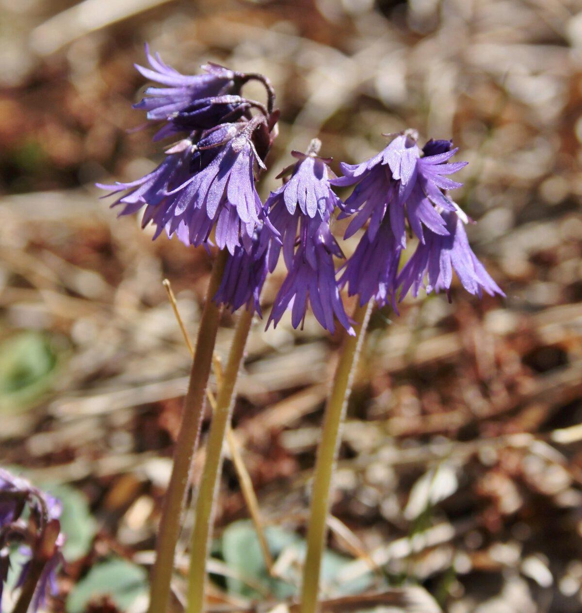 Blüten des Alpen-Glöckchens