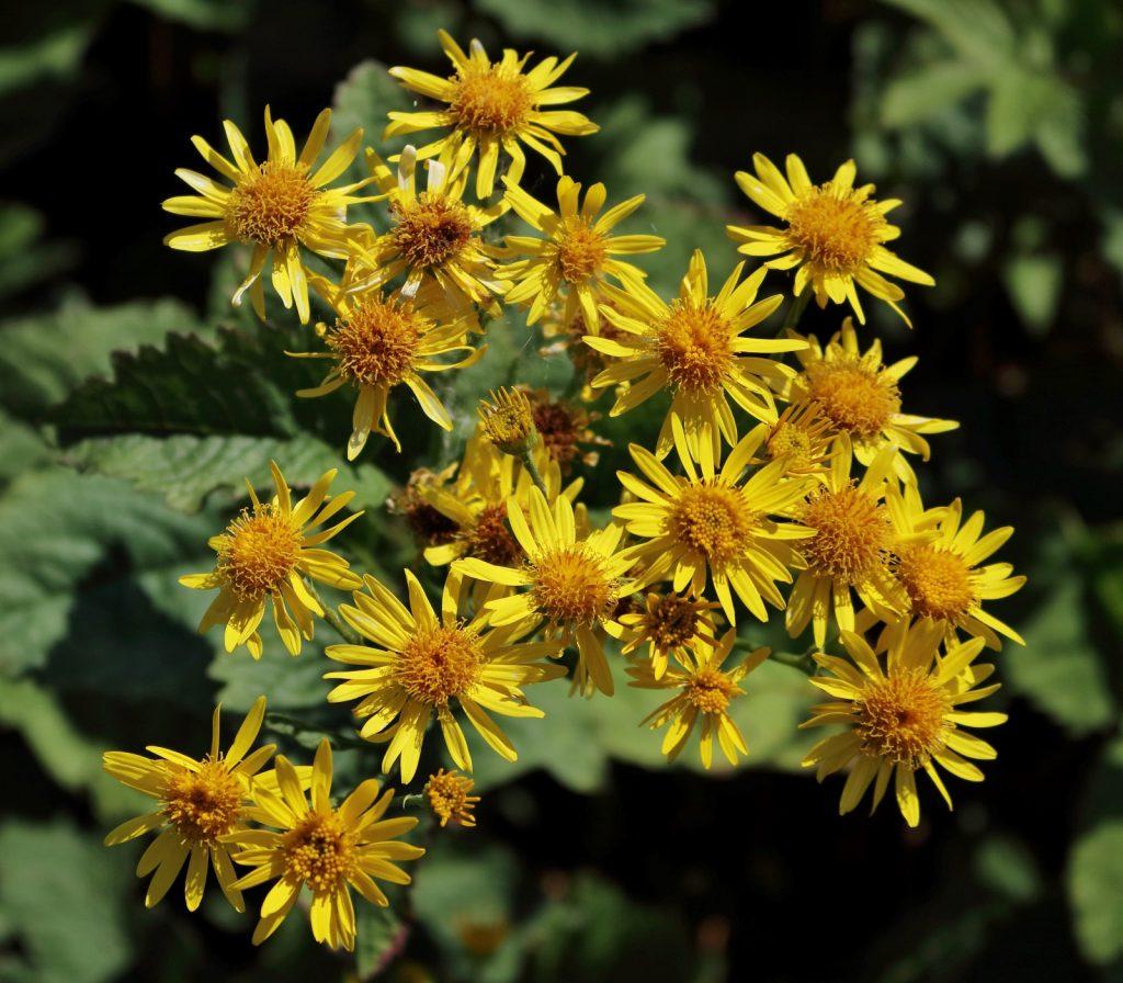 Alpen-Greiskraut: Detailaufnahme Blüte