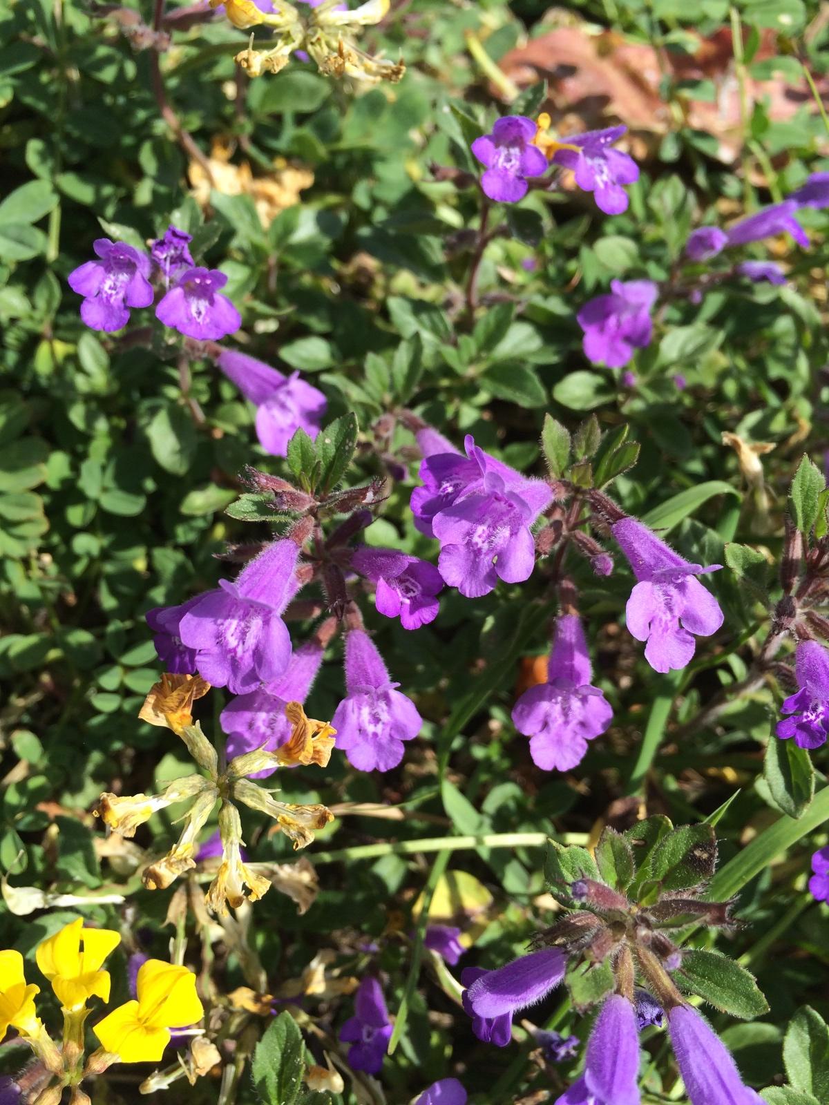 Blüten: Alpen-Steinquendel