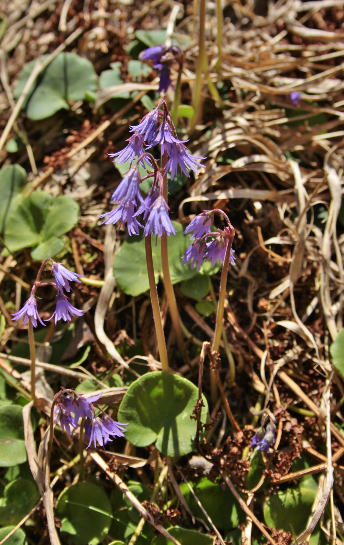 Echtes Alpenglöckchen: Aufnahme der Pflanze