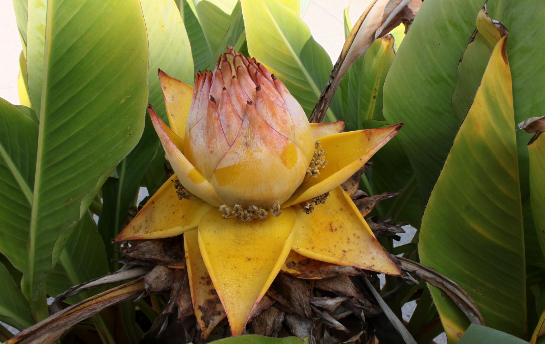 Banane; Blüte