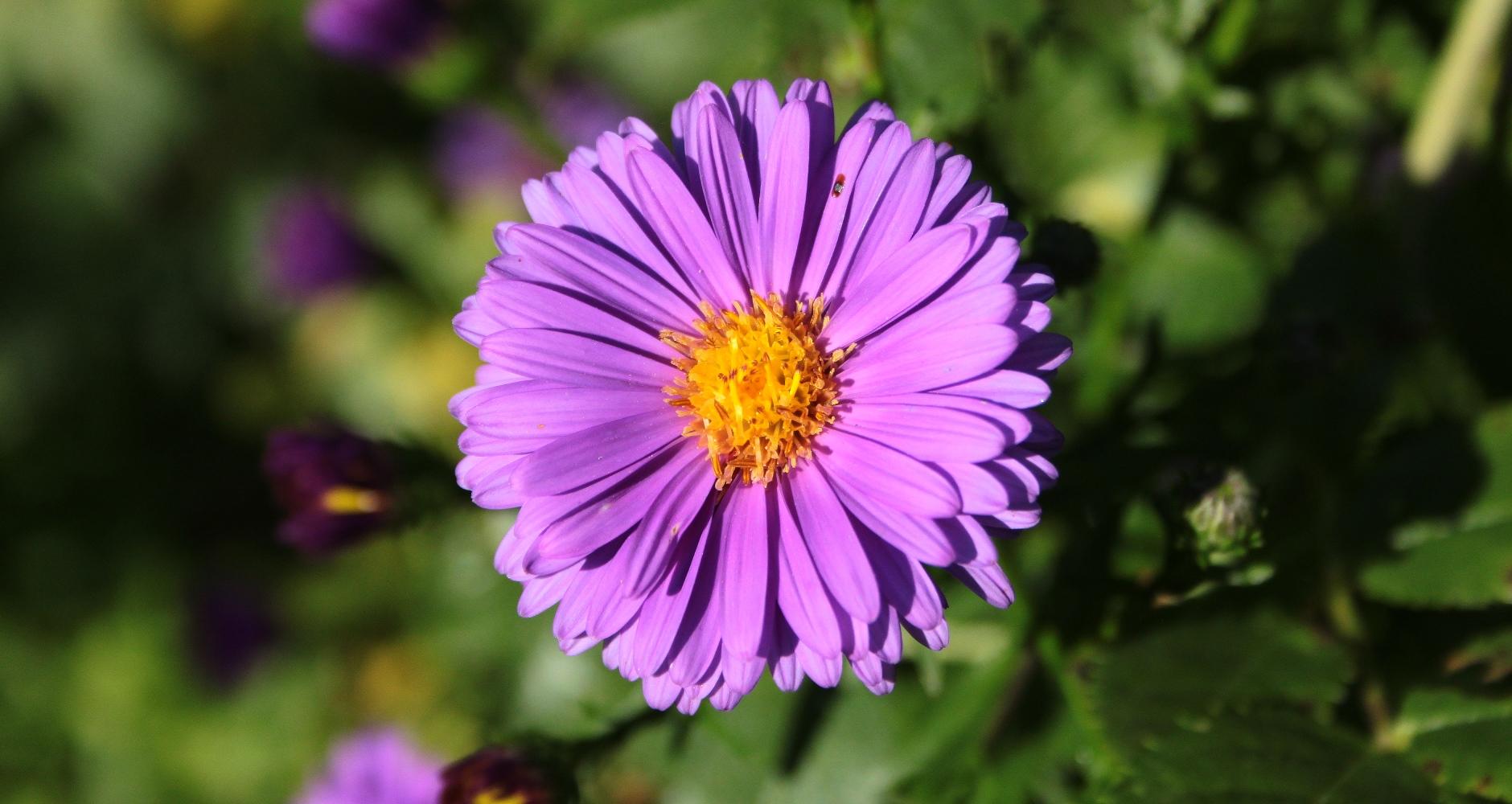 Detailaufnahme der Blüte; Bergaster
