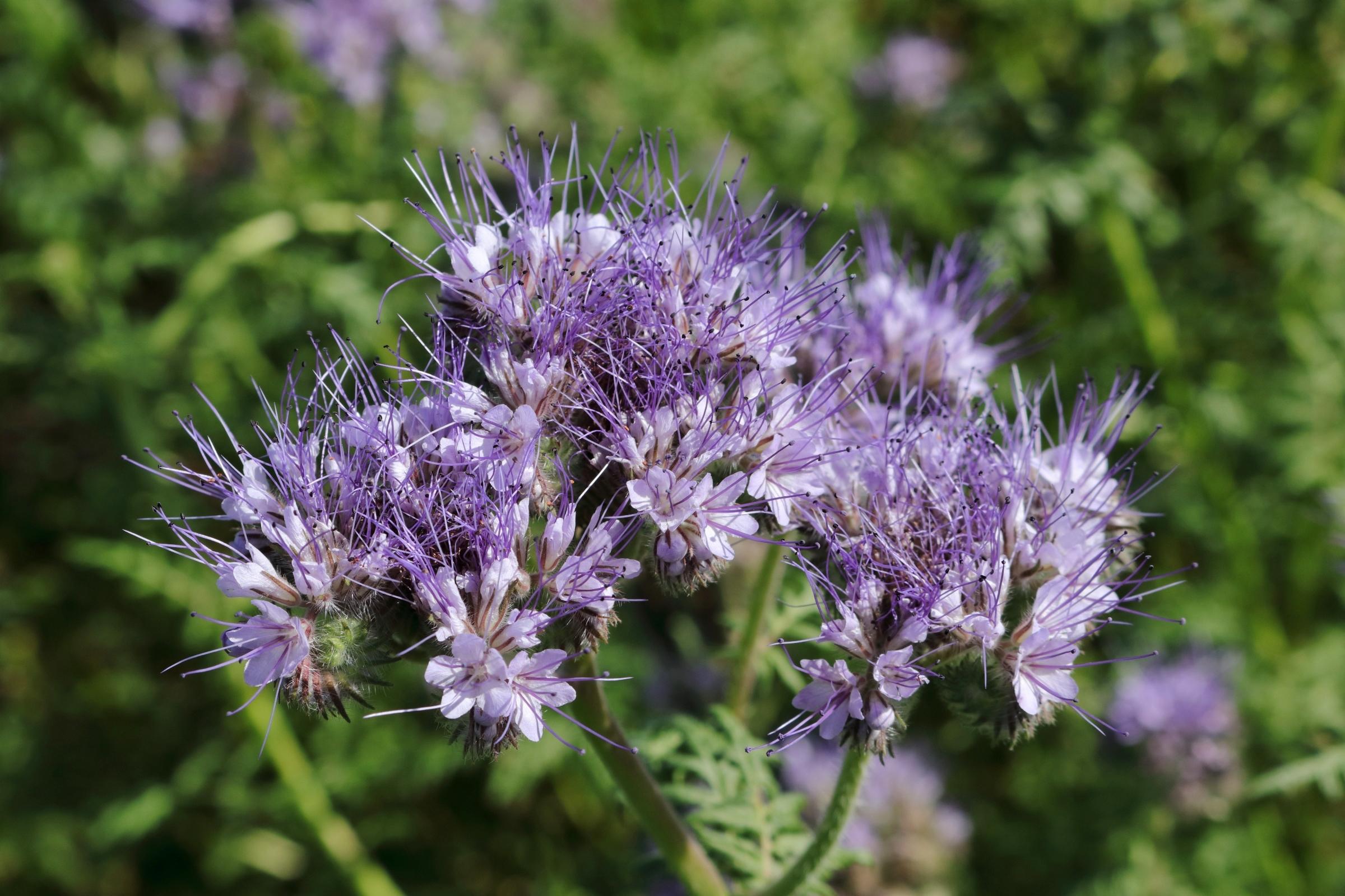 Detailaufnahme der Blüte des Bienenfreund.