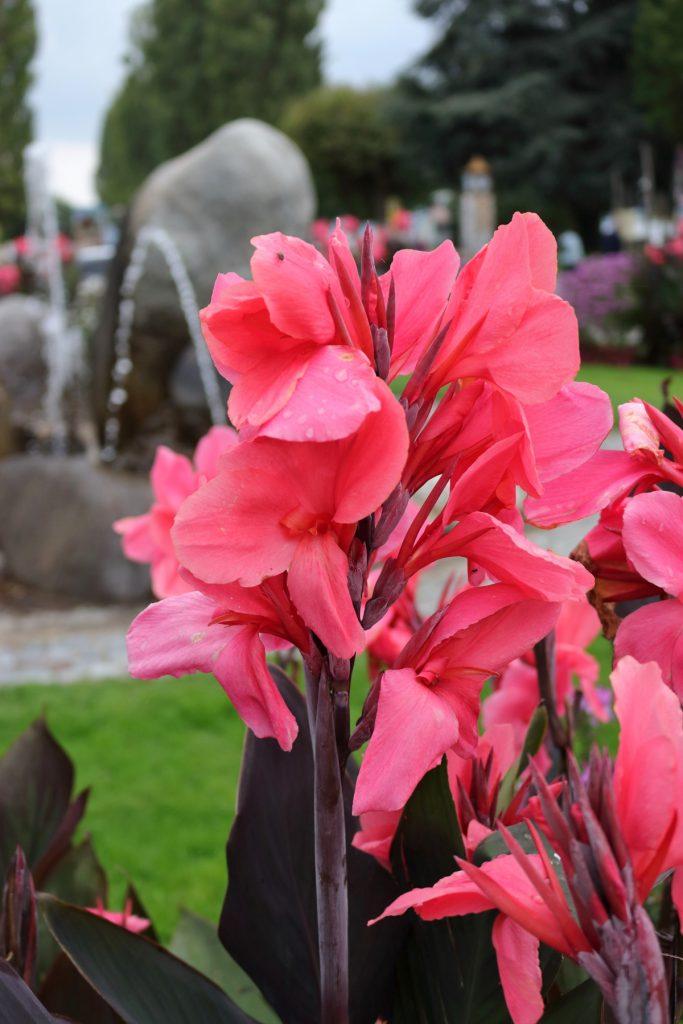 Detailaufnahme Blumenrohr-Blüte