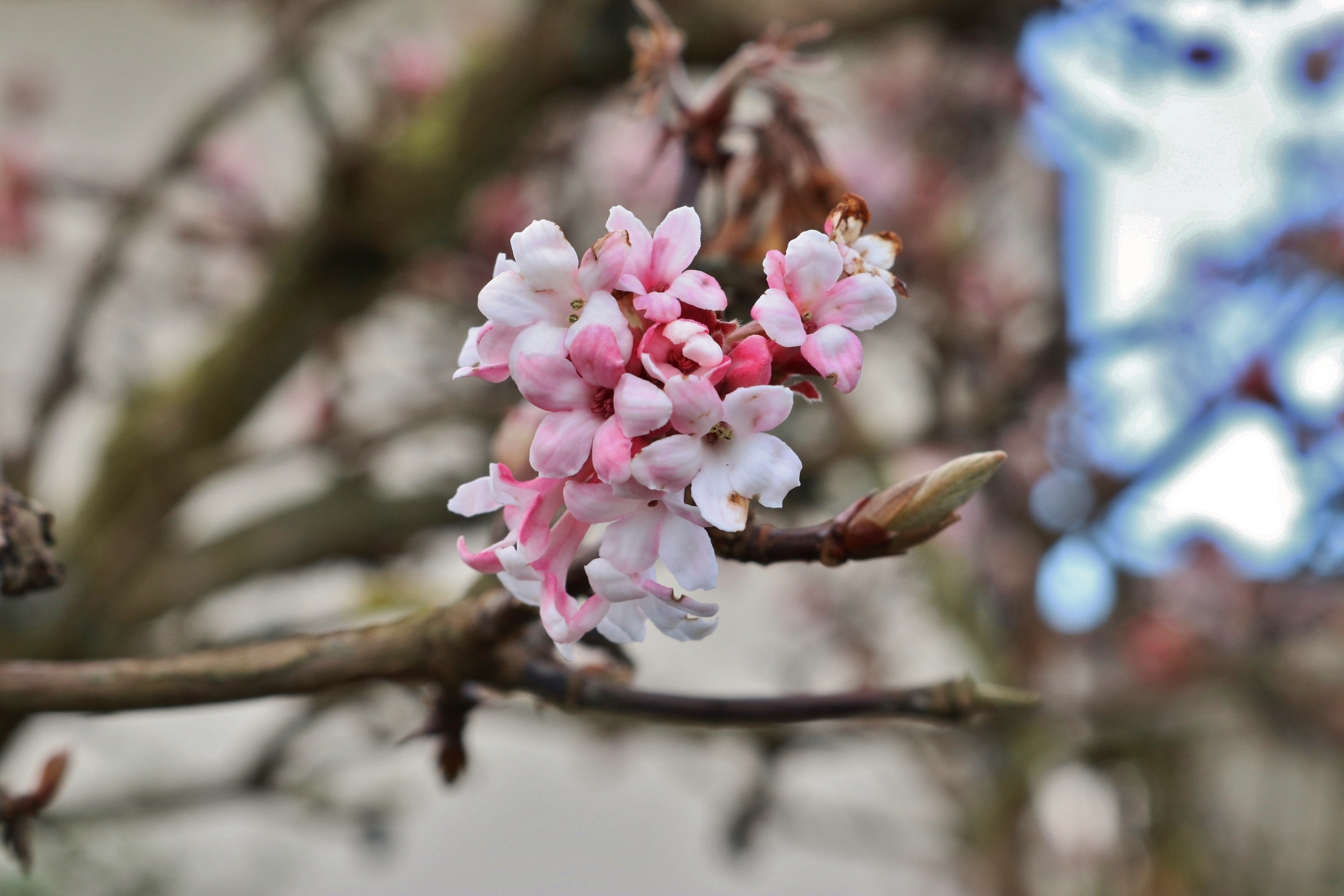 Bodnant-Schneeball Blüte