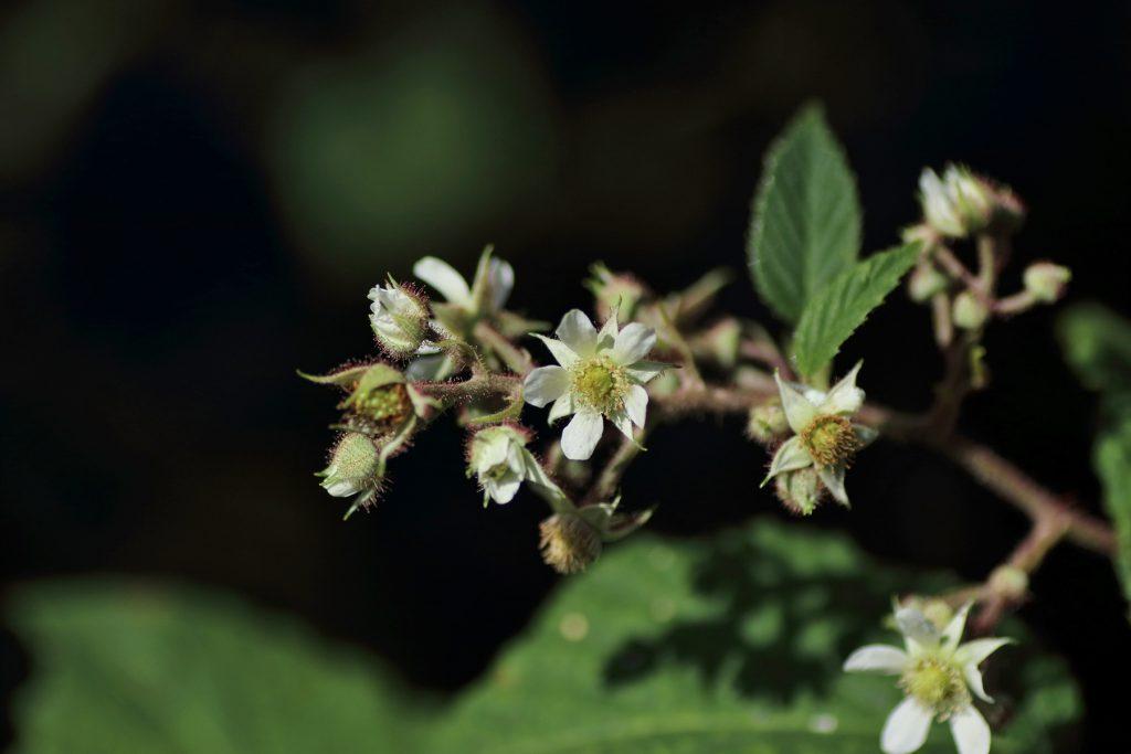 Blüten der Brombeere