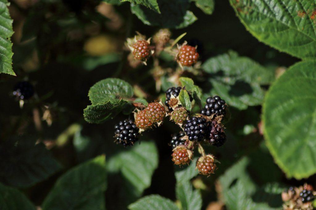 Früchte der Brombeere
