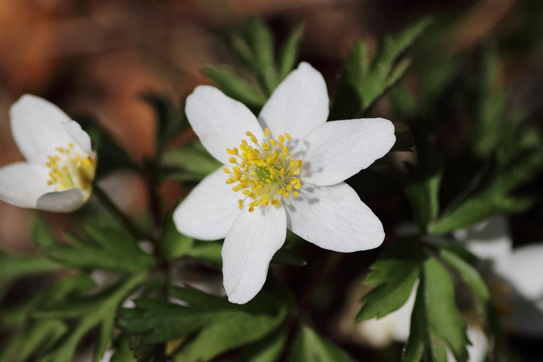 Detailaufnahme Blüte - weißes Buschwindröschen
