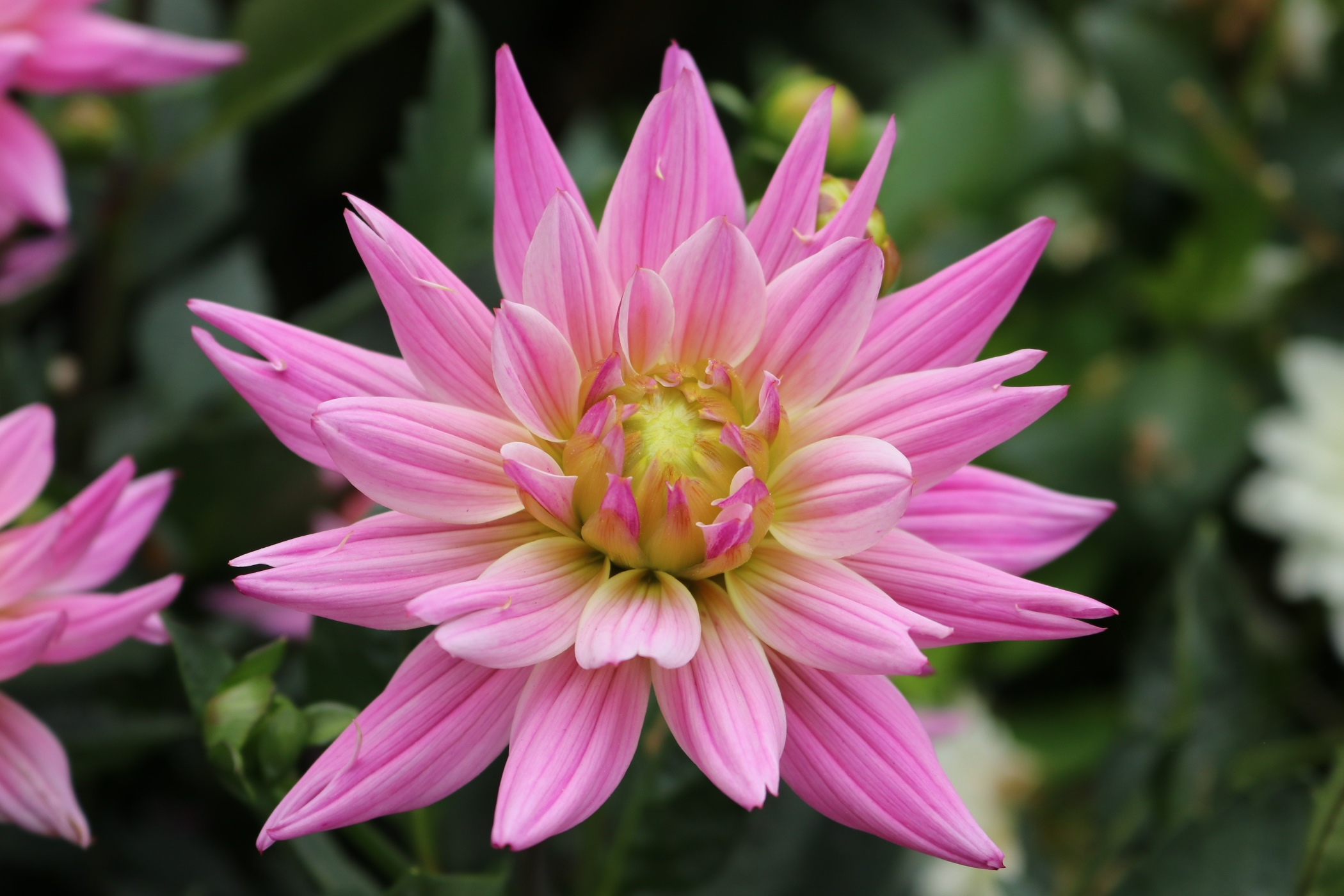 rosa gefärbte Dahlie