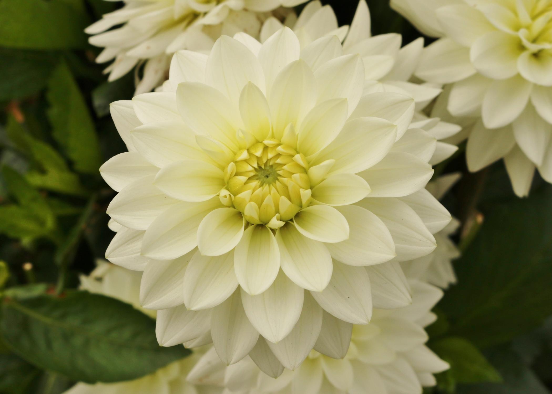 weiß gefärbte Dahlie