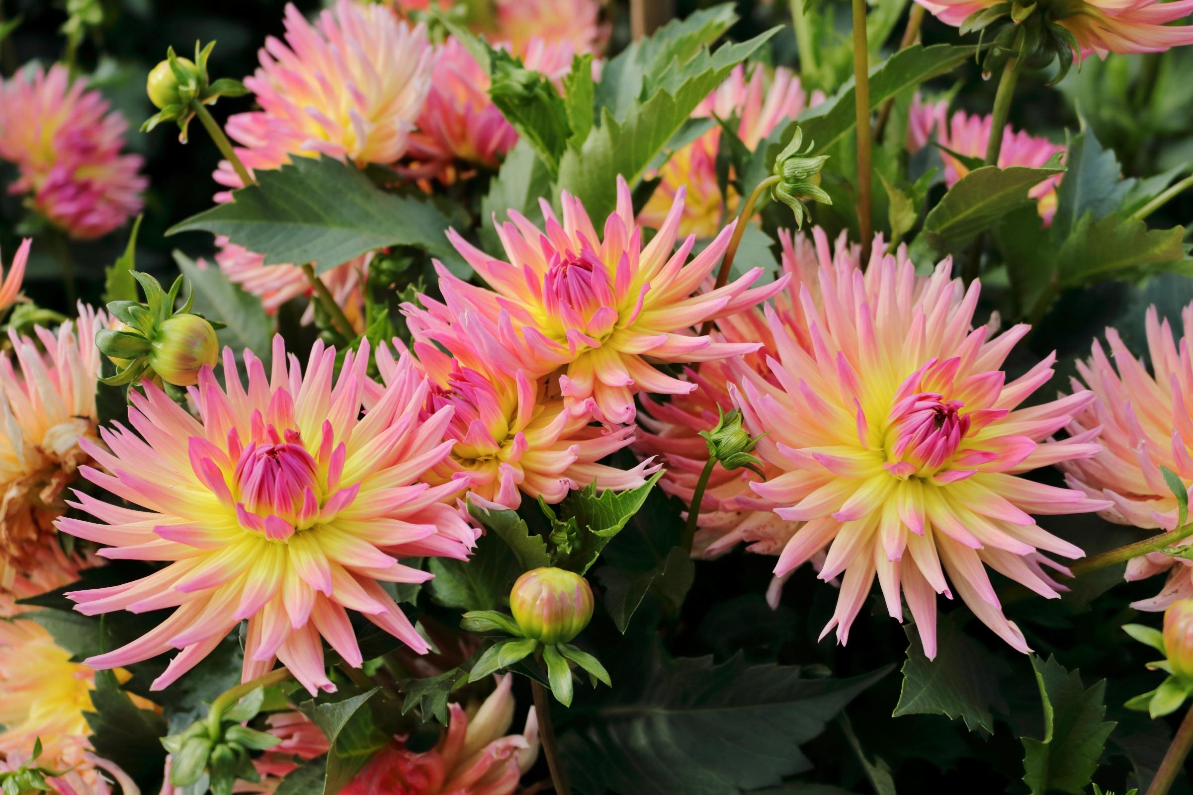 Gruppe von Blüten