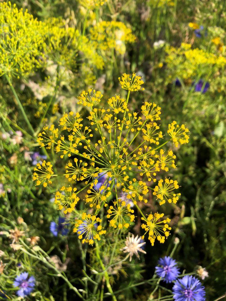 Dill: Blüte