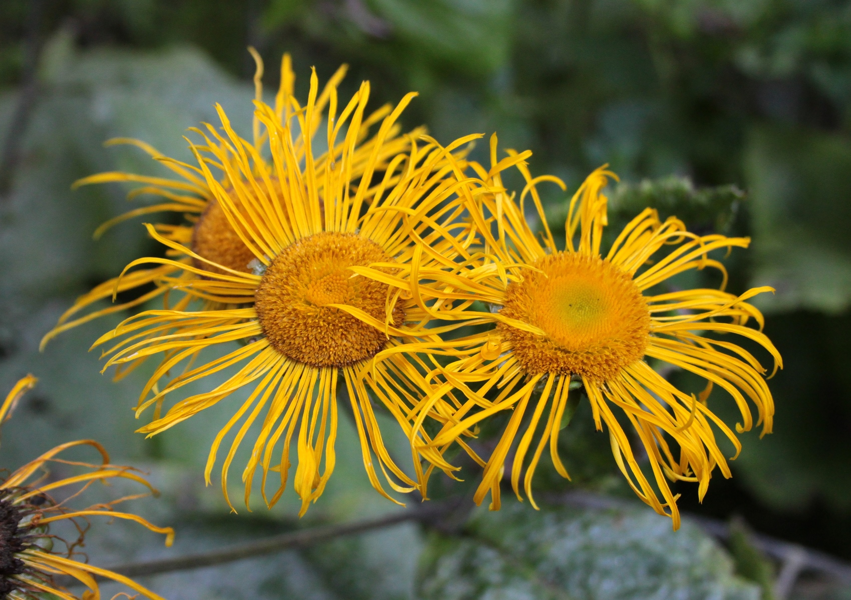Blüten des echten Alants
