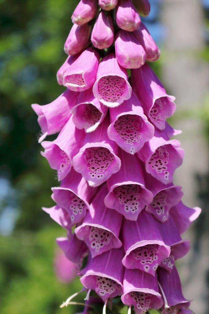 Detailaufnahme der Fingerhut-Blüte