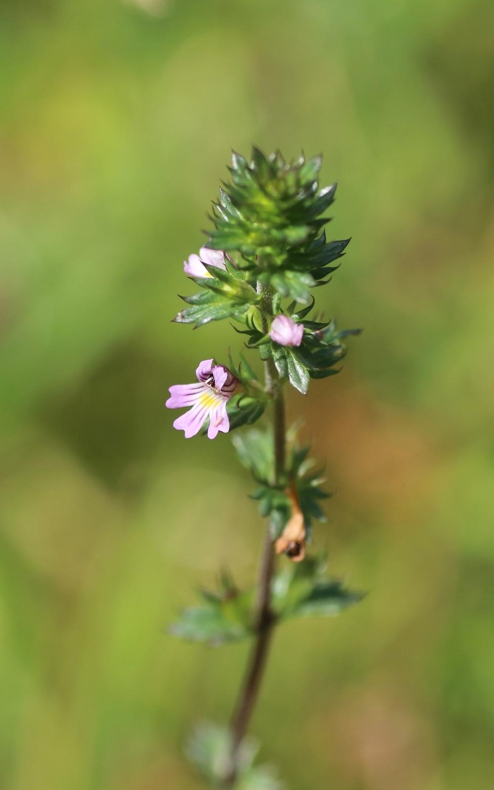 Detailaufnahme Blüte des Steifen Augentrost