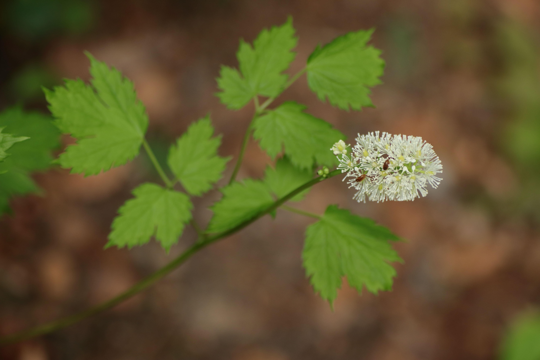 Detailaufnahme der Blüte des Christophskraut