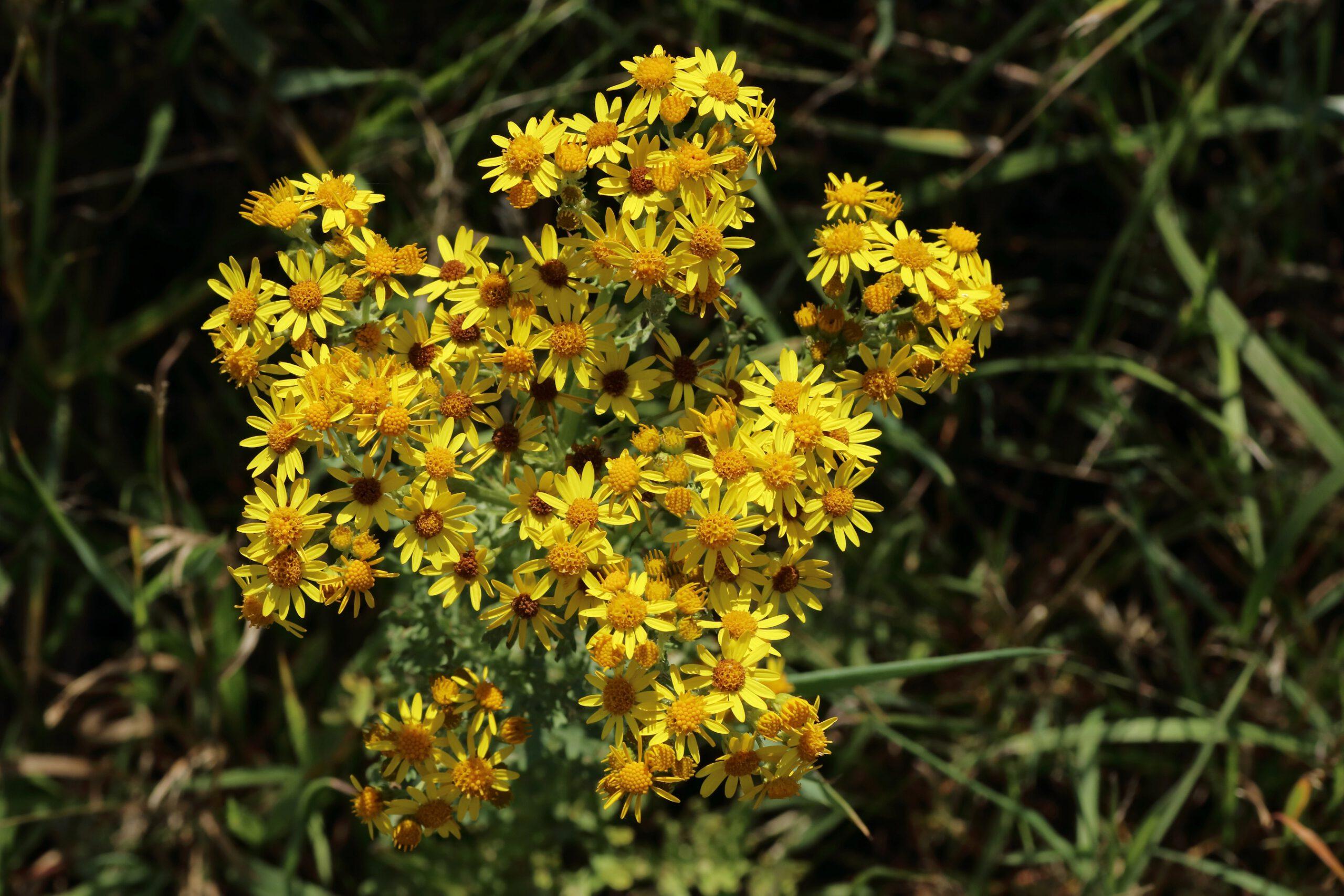Jakobs-Greiskraut - Blütenstand