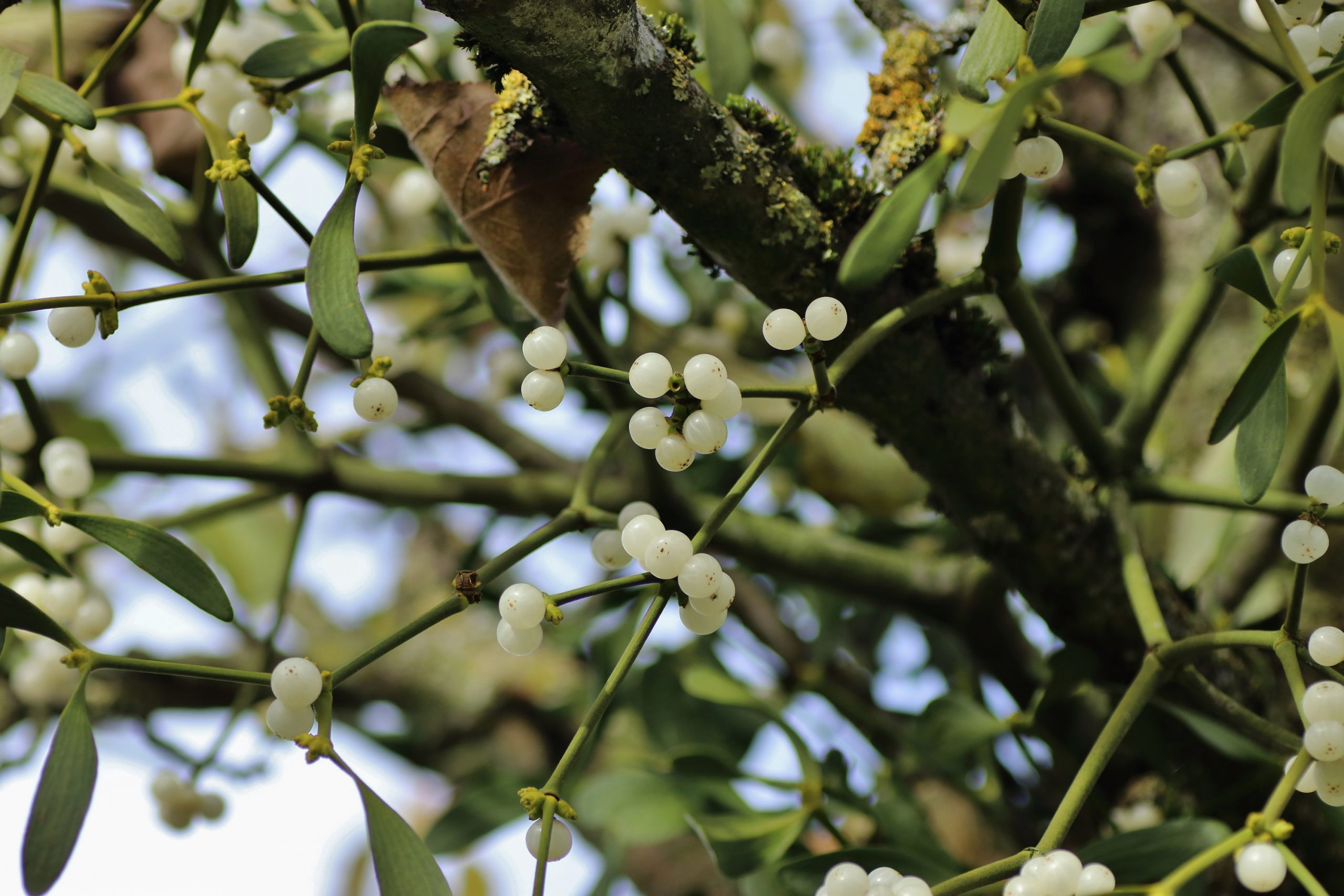 Beeren der Weißbeeringen Mistel