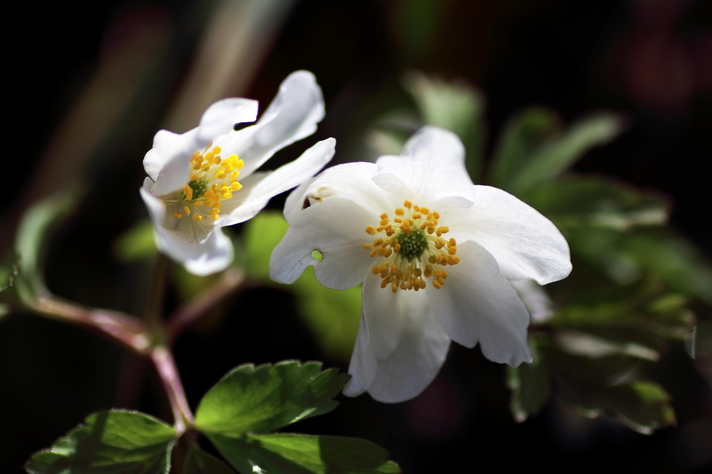 Blüten des Buschwindröschen