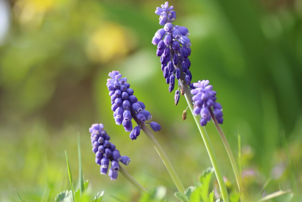 Weinberg-Traubenhyazinthe; Detailaufnahme Blüte