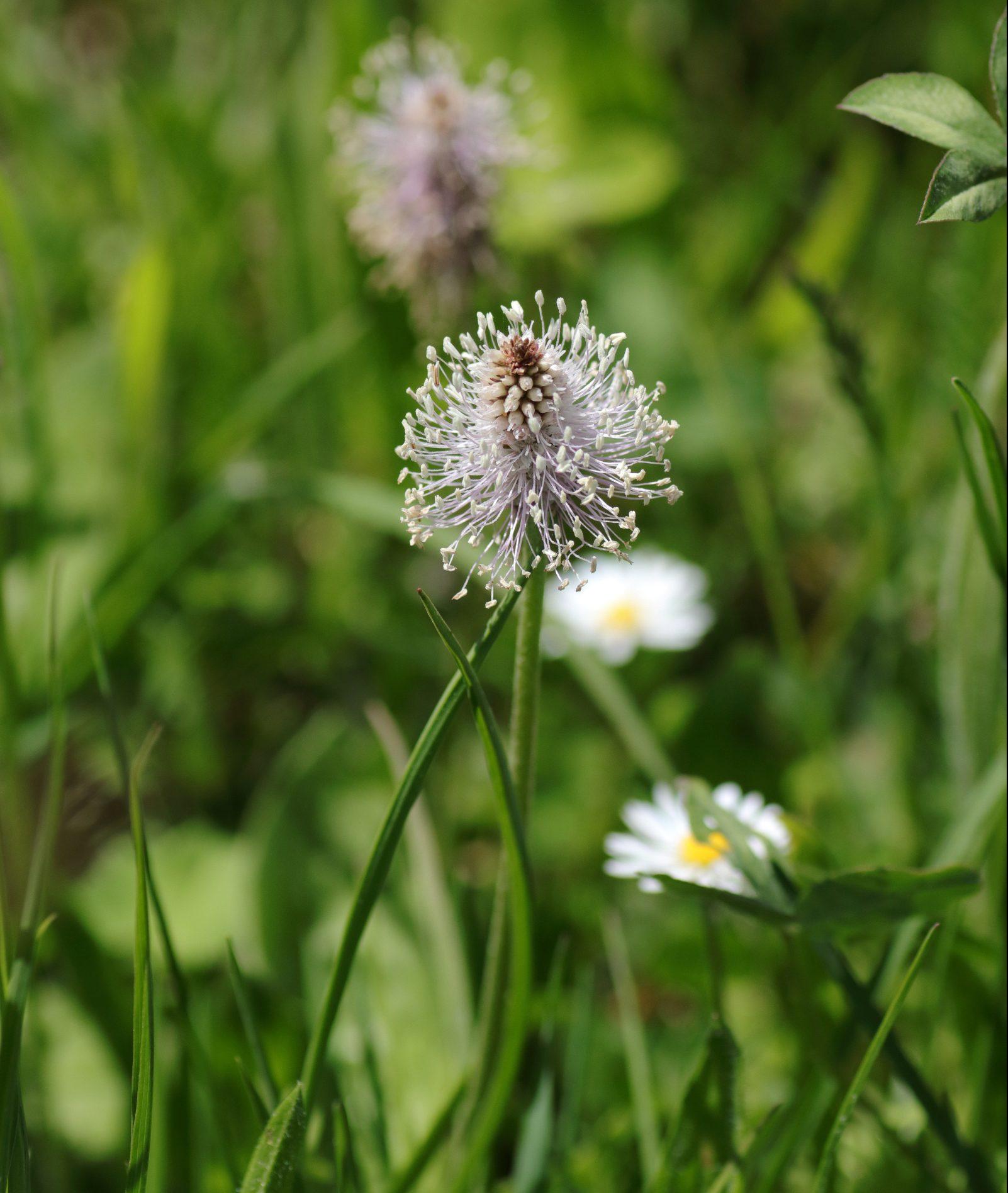 Mittlerer Wegerich - Blüte
