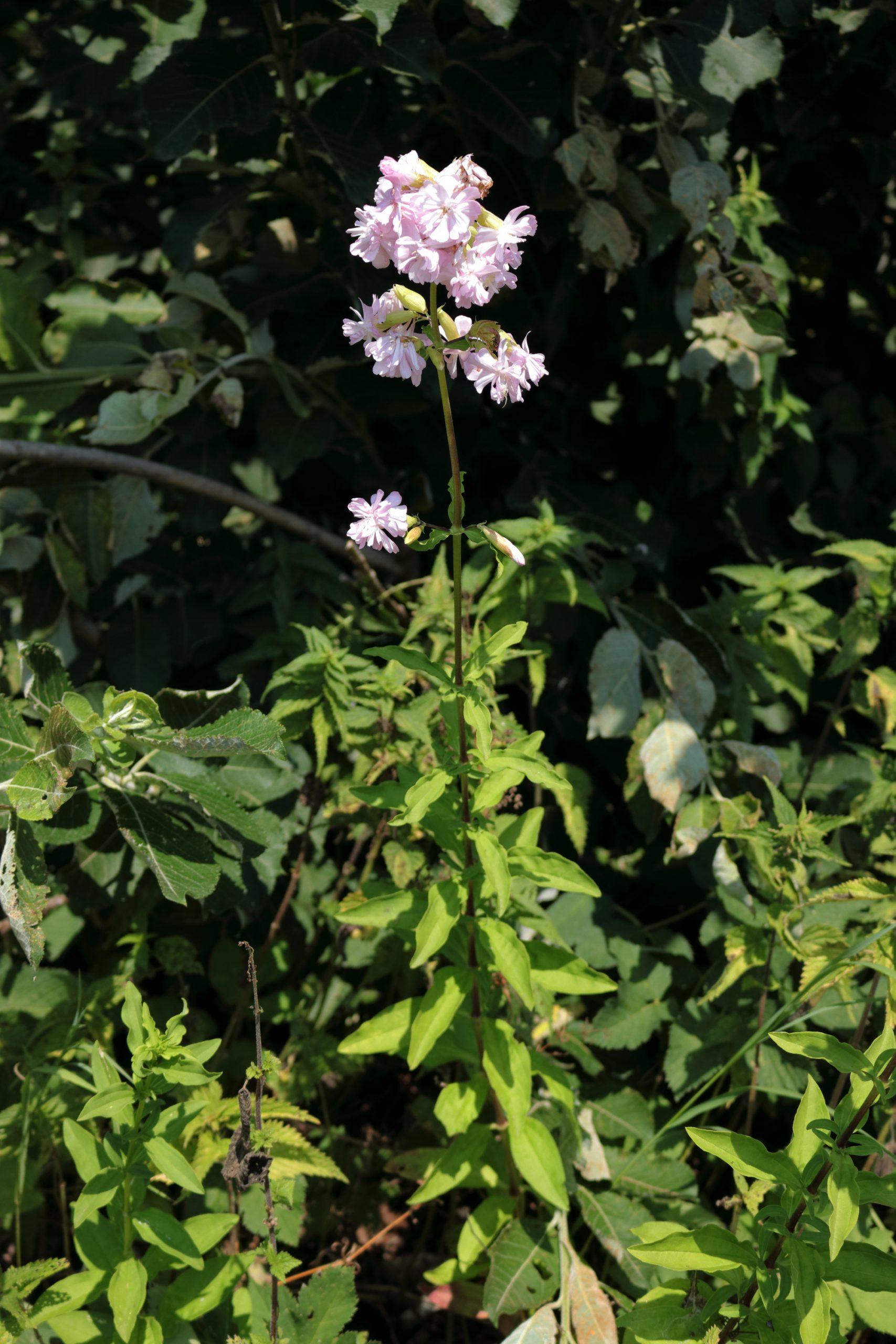 Echtes Seifenkraut - Gesamte Pflanze