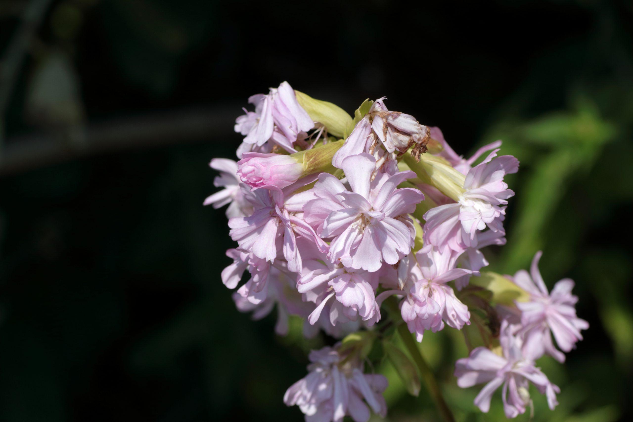 Echtes Seifenkraut - Blüte