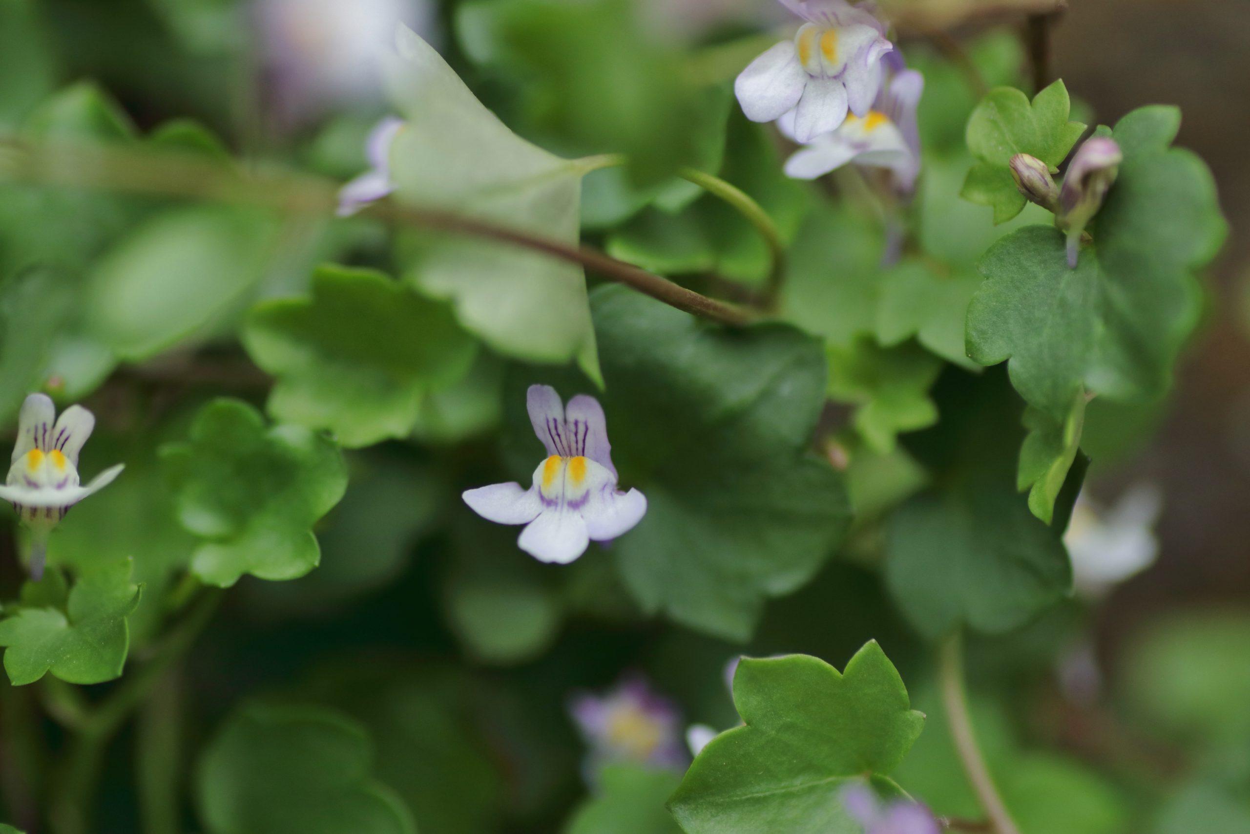 Mauer-Zimbelkraut (Blüte)