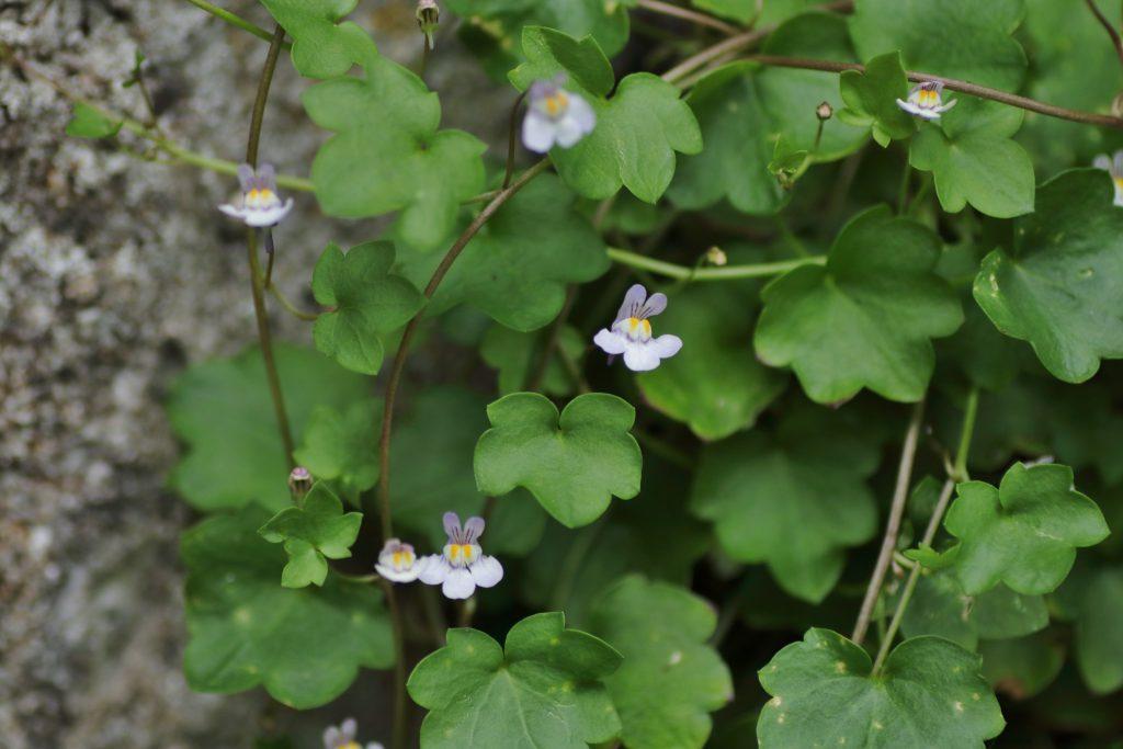 Mauer-Zimbelkraut (Blatt)