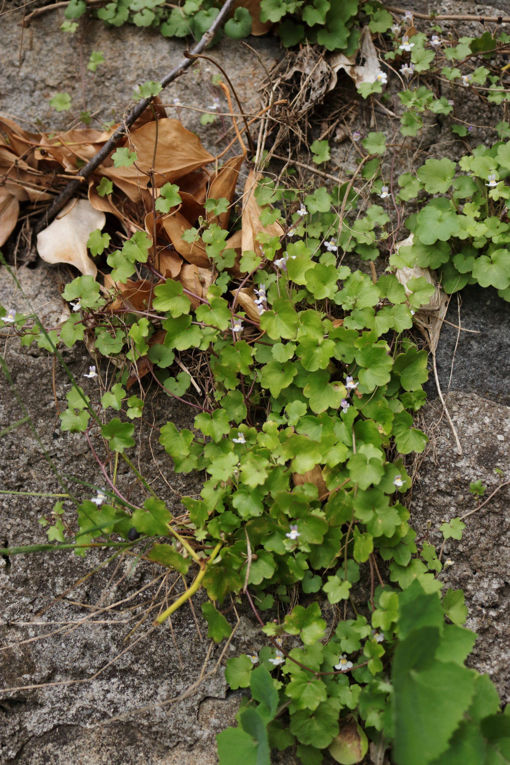 Mauer-Zimbelkraut (Gesamte Pflanze)