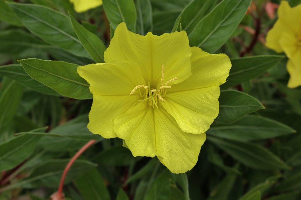 Blüte der Missouri-Nachtkerze