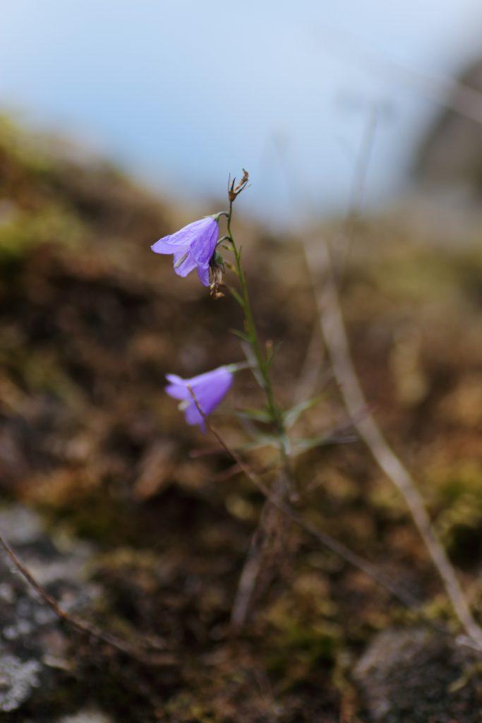 Blüte der Zwerg-Glockenblume