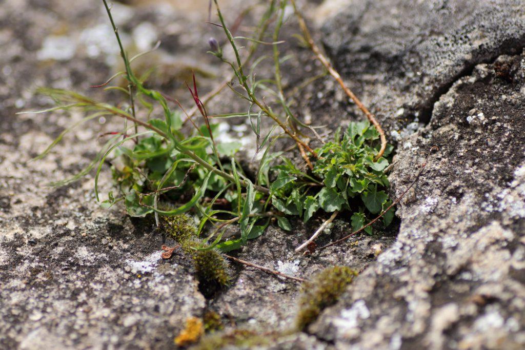 Blätter der Zwerg-Glockenblume