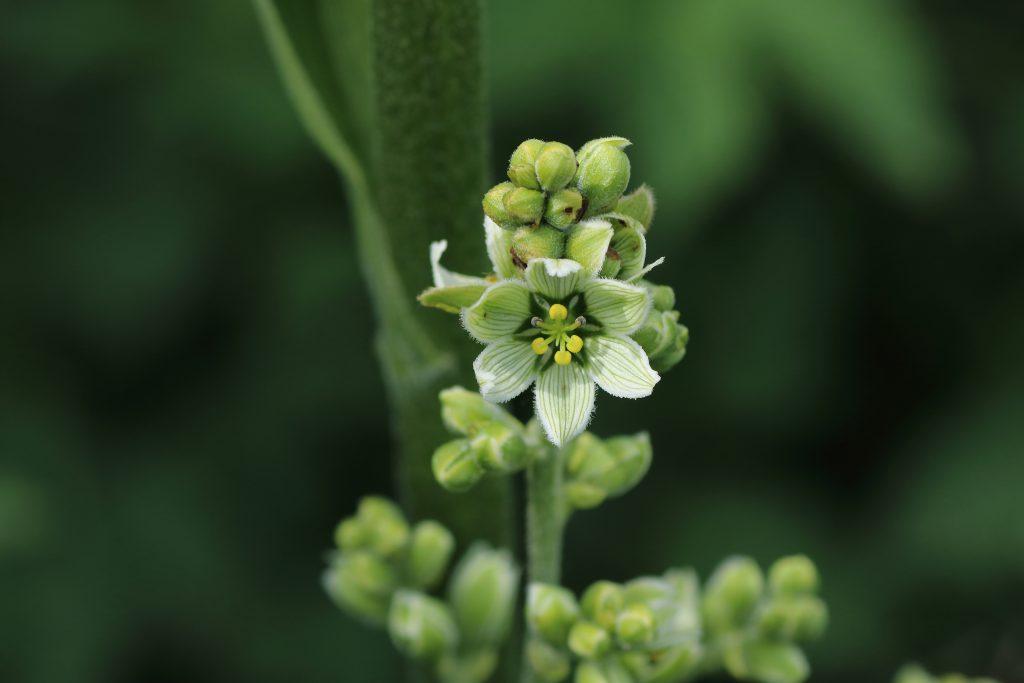 Blüte - Weißer Germer