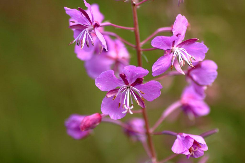 Blüten - schmalblättrige Weidenröschen