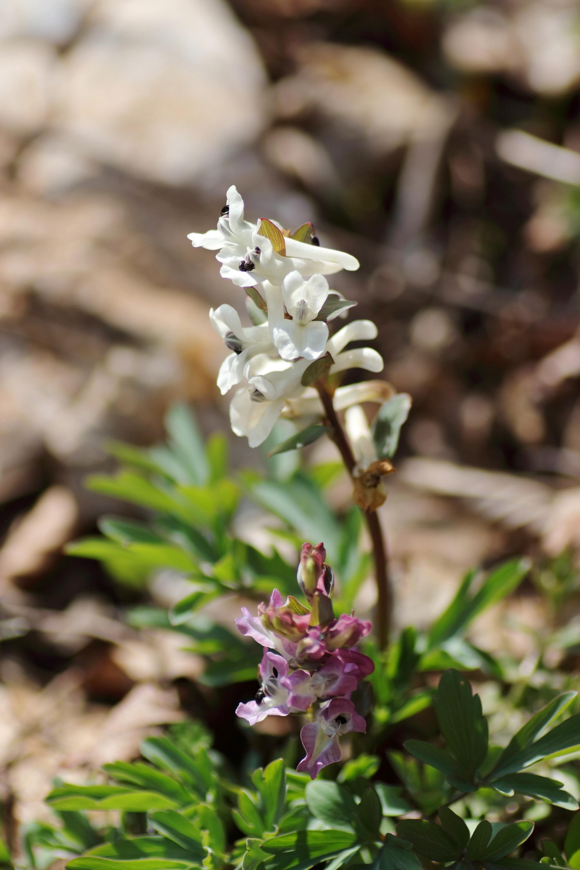 weiße Blüte - Hohler Lerchensporn