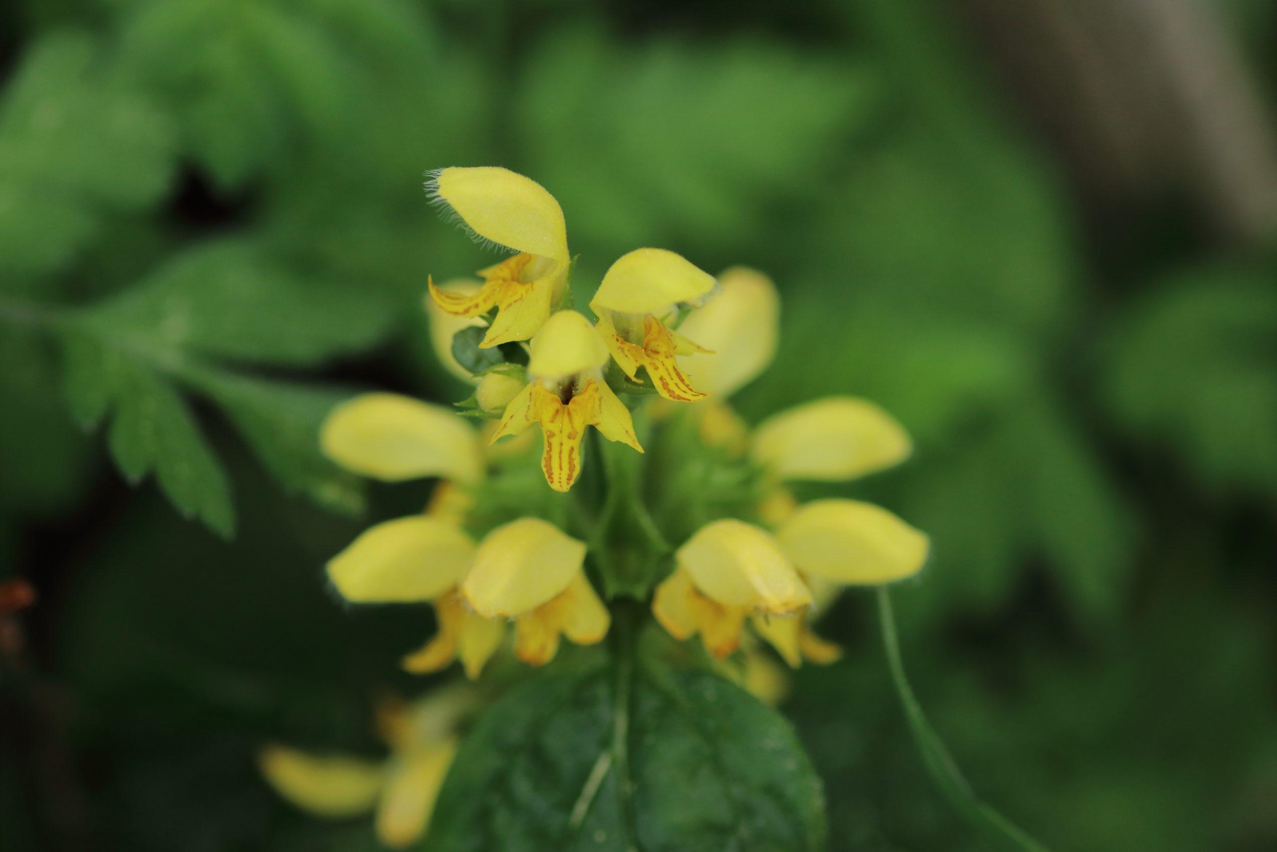 Blüten der Goldnessel