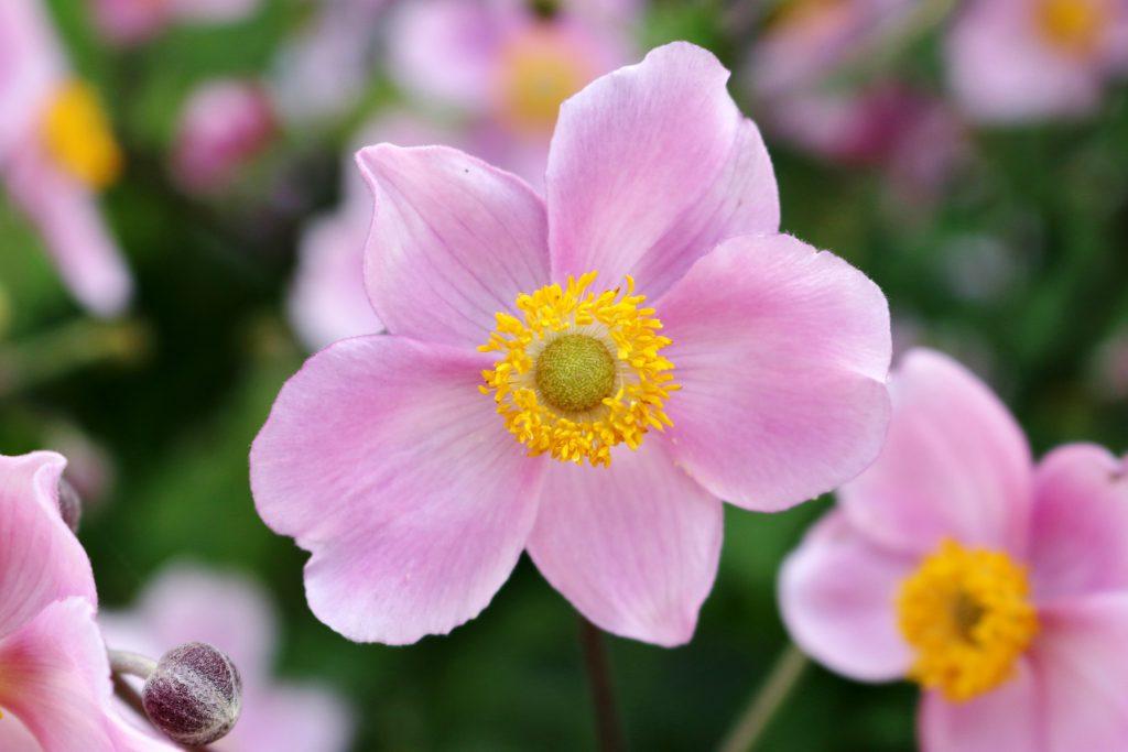 Blüten der Herbst-Anemone