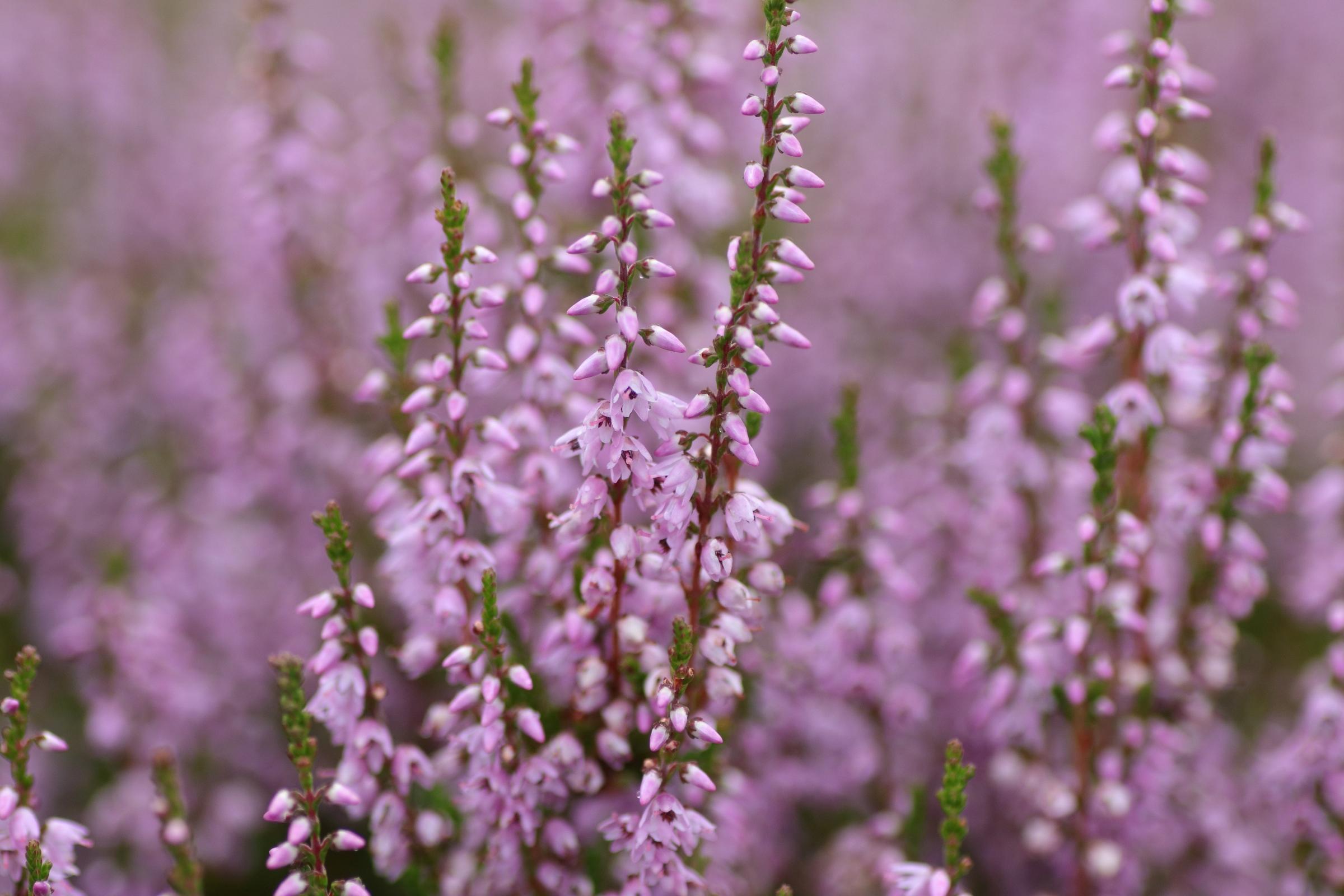 Heidekraut - Detailaufnahme der Blüte