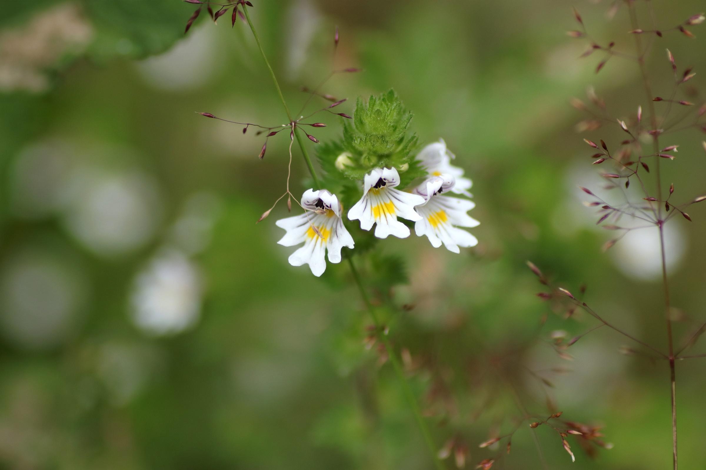 Gemeiner Augentrost - Blüte in der Detailaufnahme
