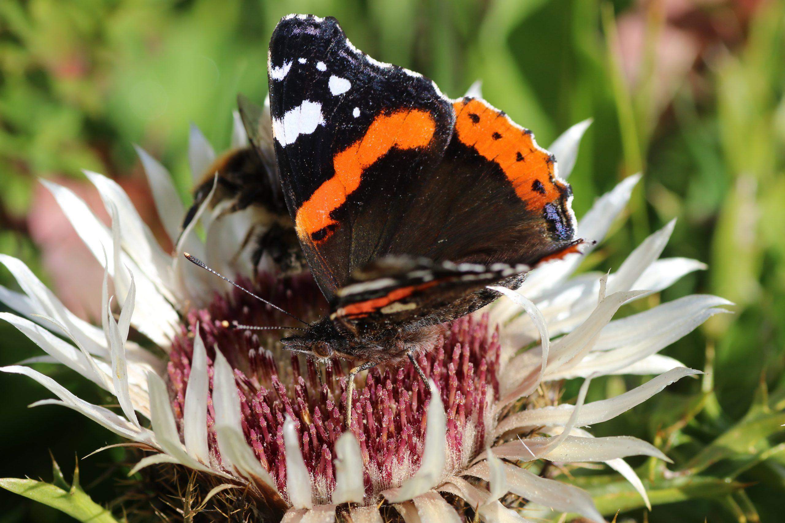 Schmetterlinge - Admiral auf Silberdistel