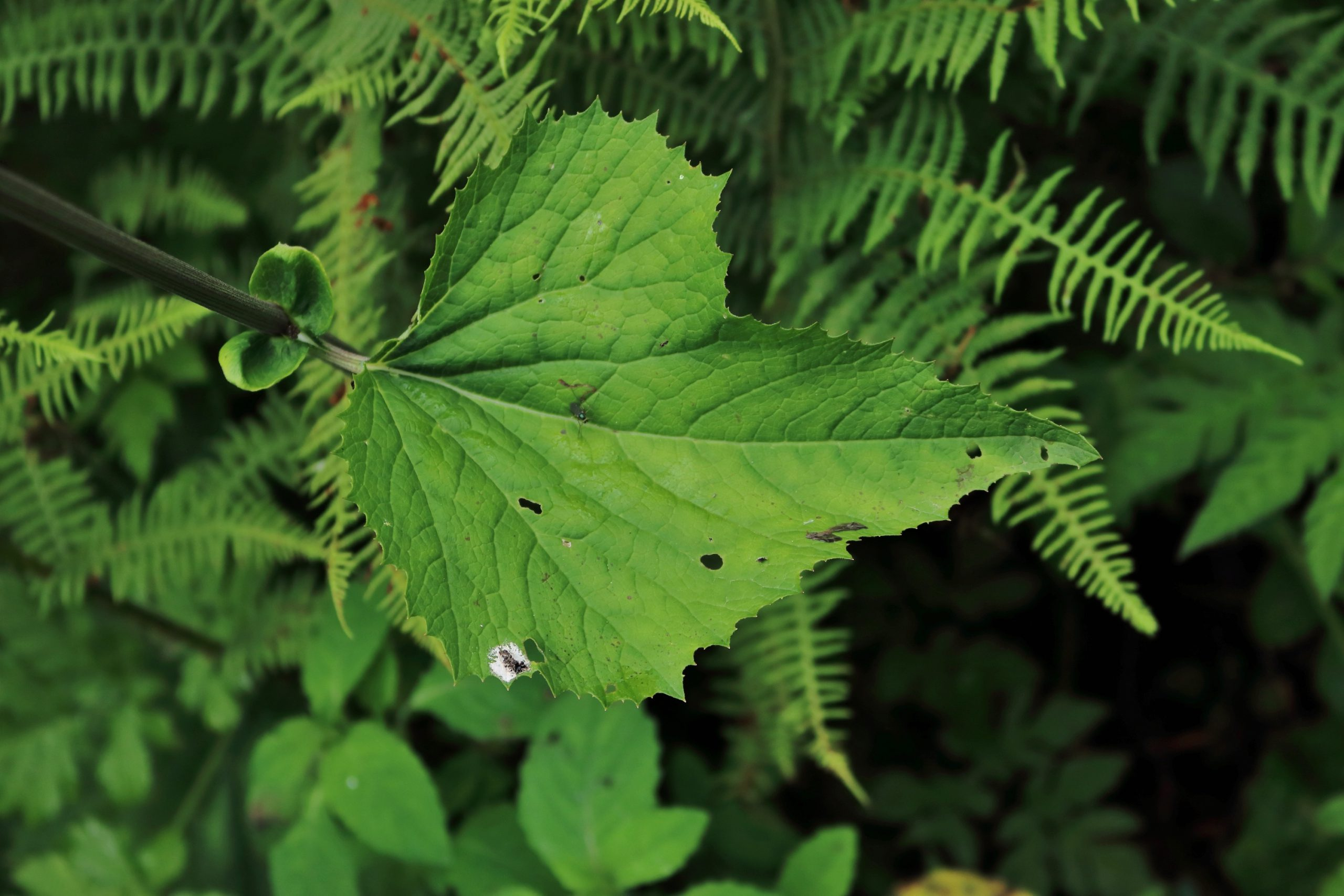 Grauer Alpendost - Blätter