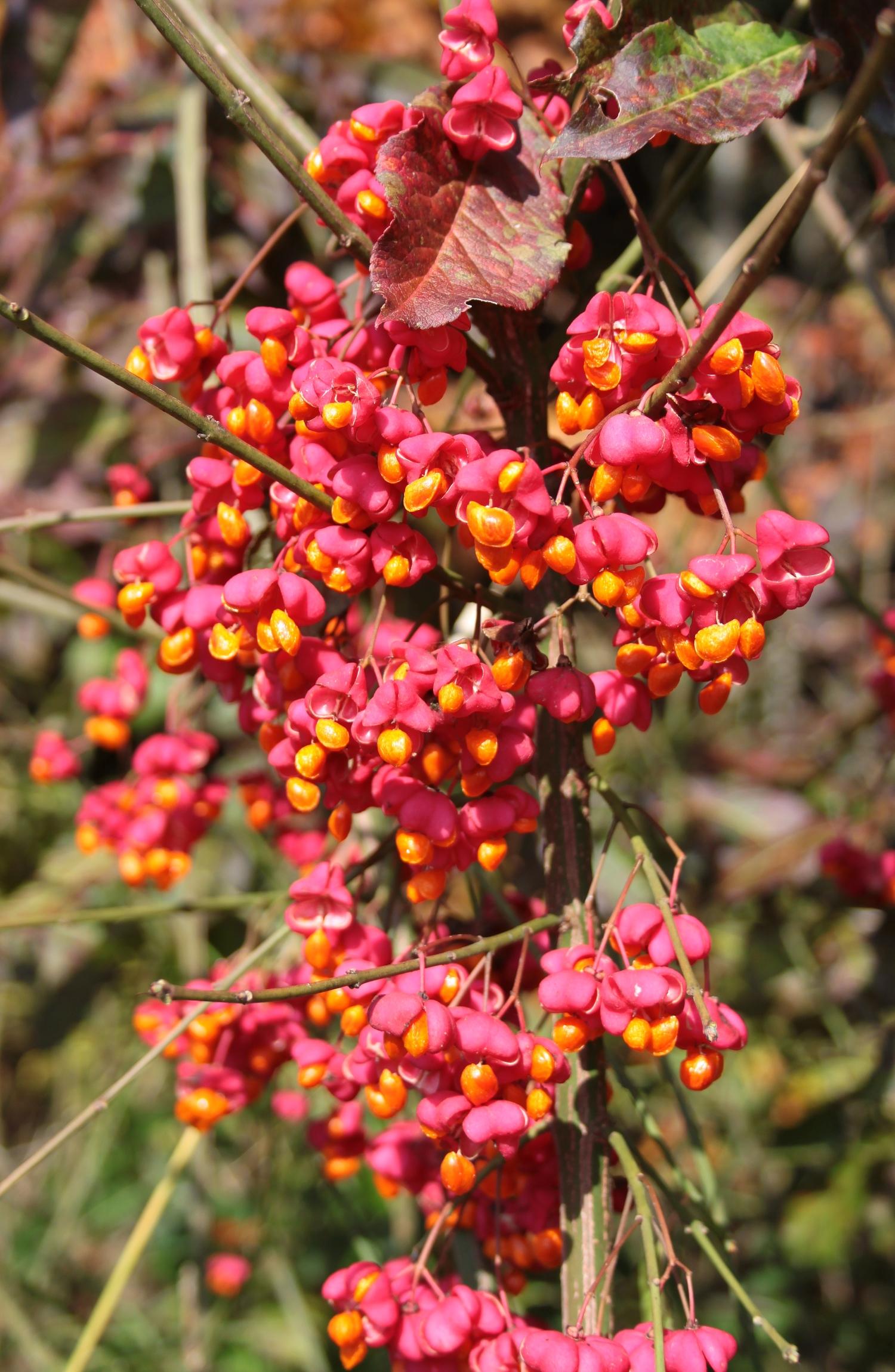 Früchte des Pfaffenhütchen
