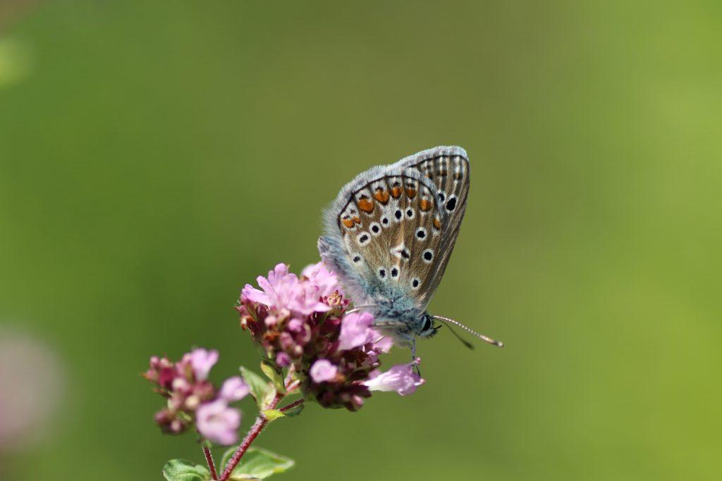 Schmetterlinge - Bläuling