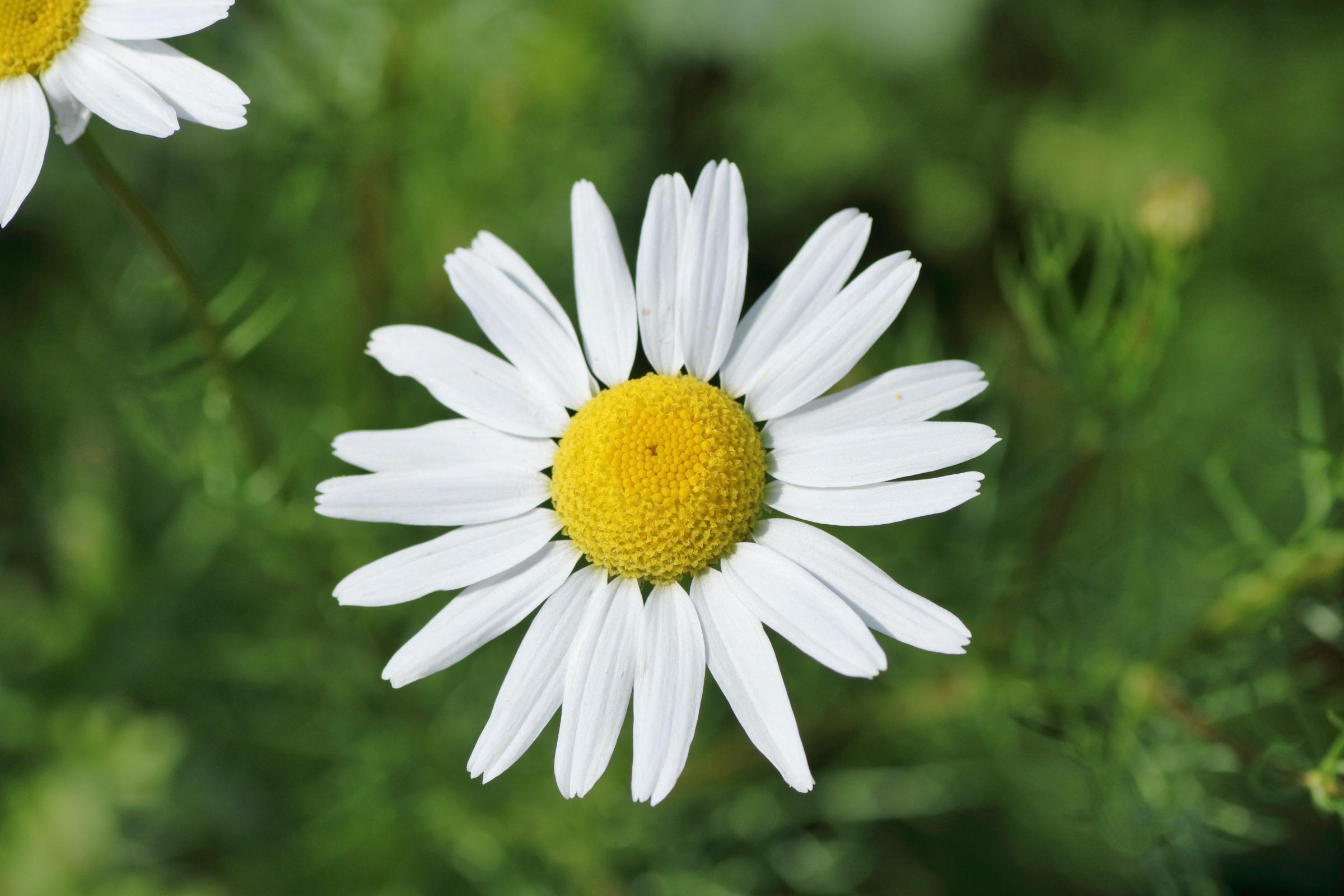 Blüte der Acker-Hundskamille