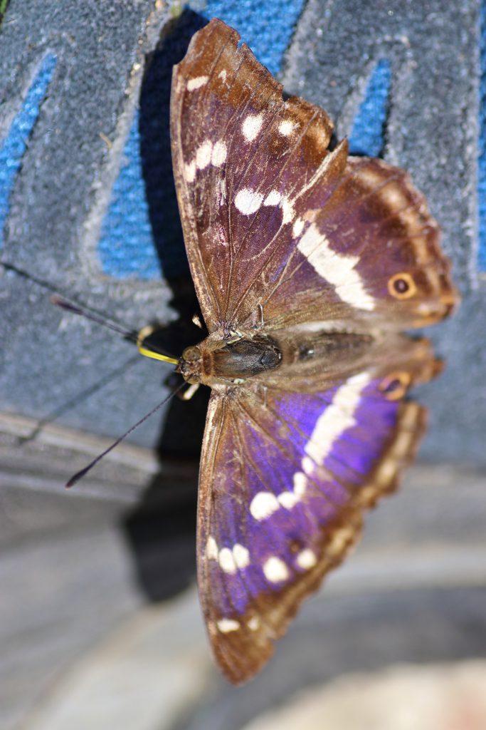 Schmetterlinge - Großer Schillerfalter
