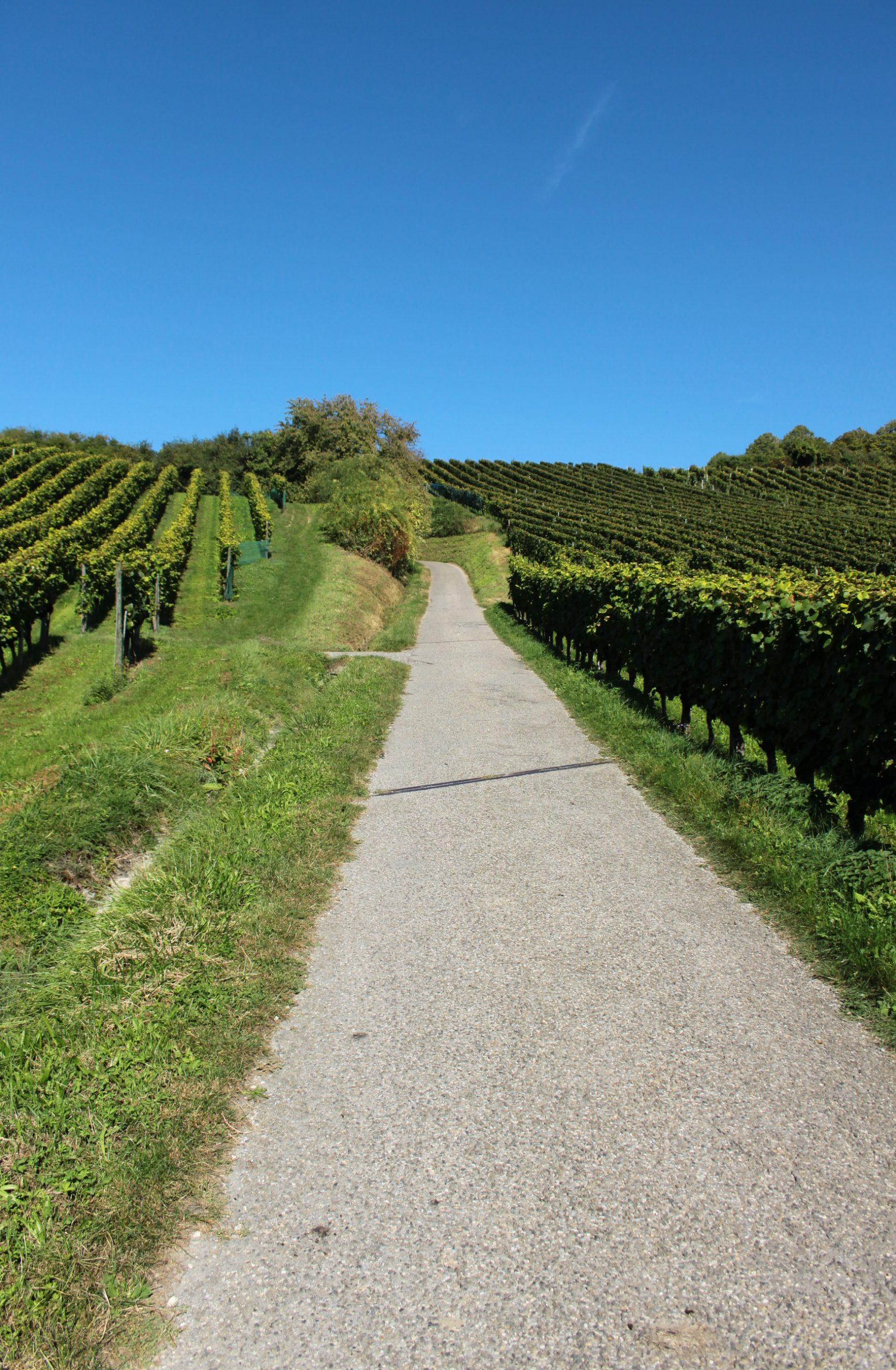 Weinberge am Bodensee