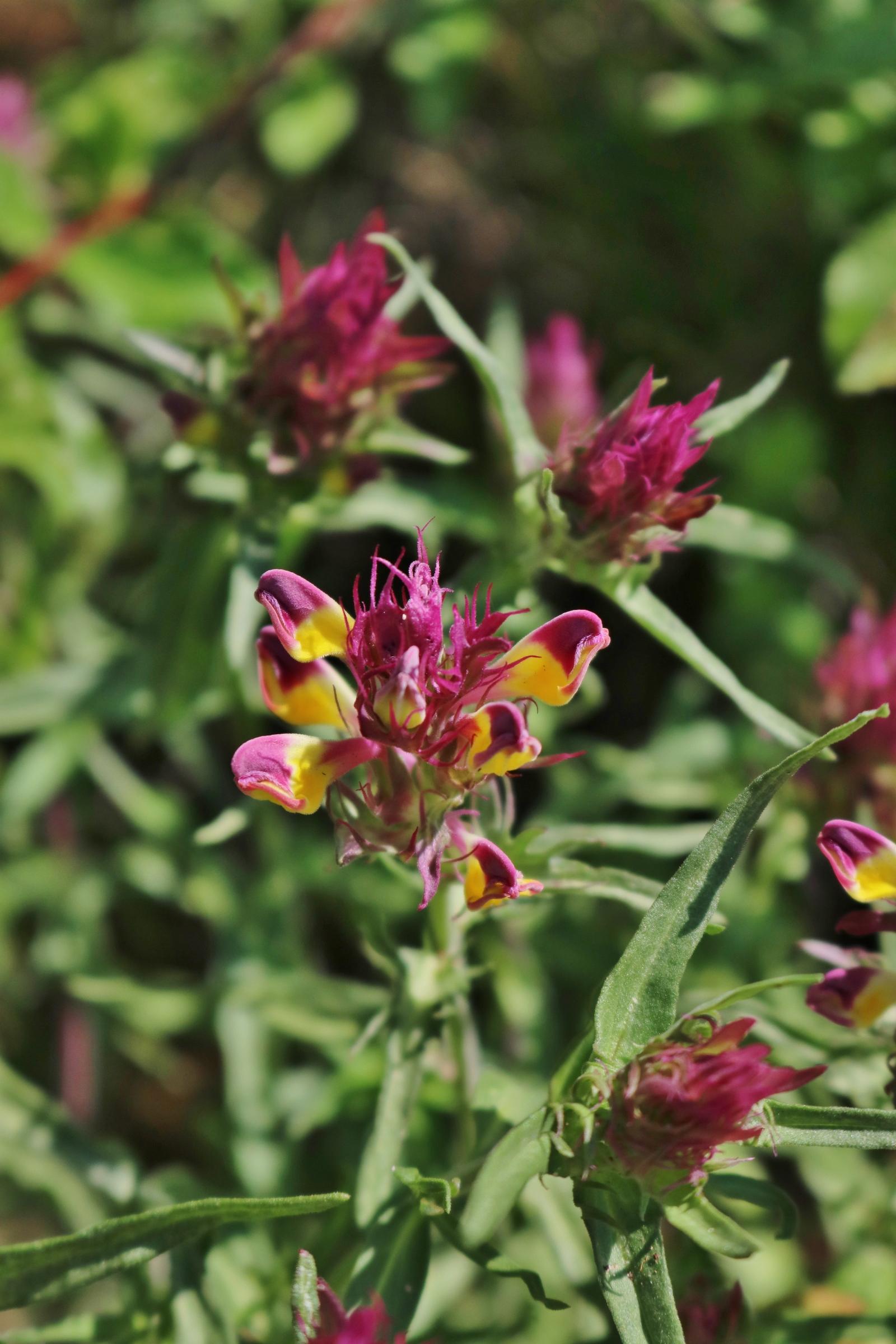 Blüten des  Acker-Wachtelweizen
