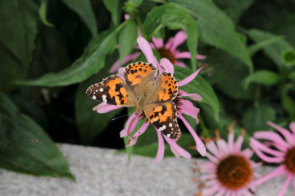 Schmetterlinge - Distelfalter